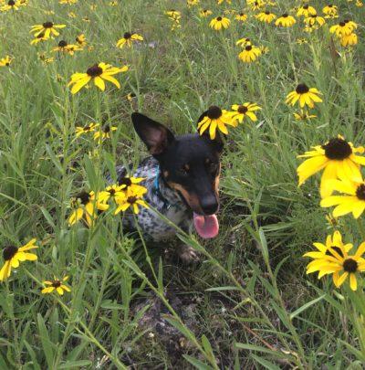 Rico, a Caledon Canine