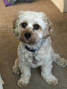 Zephyr, a Caledon Canine Cavachon